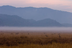 Deer In Grass At Sunrise