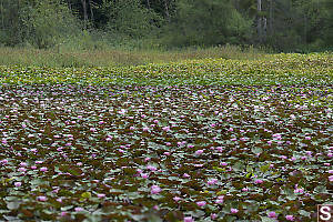 Beaver Lake Full Of Lilies