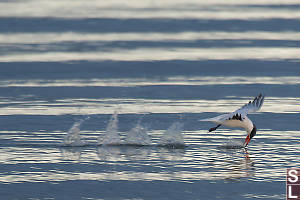 Caspian Tern Skimming Water