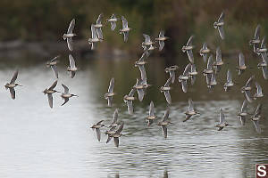 Long Billed Dowitchers In Flight