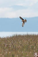Northern Harrier Hunting Over Marsh