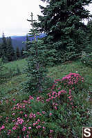 Pink Mountain-Heather - Phyllodoce empetriformis