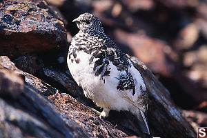 White Tailed Ptarmigan From Three Quarters