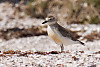 NZDotterel On Beach