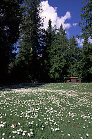 Daisies with Picnic Table