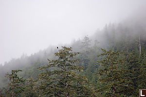 Eagle In Foggy Trees